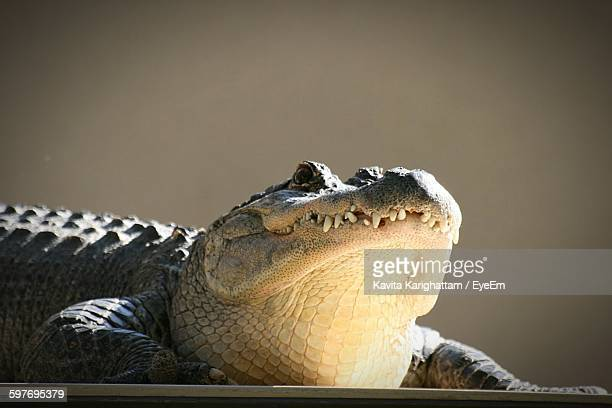 Close-Up Of Crocodile On Field Against Clear Sky