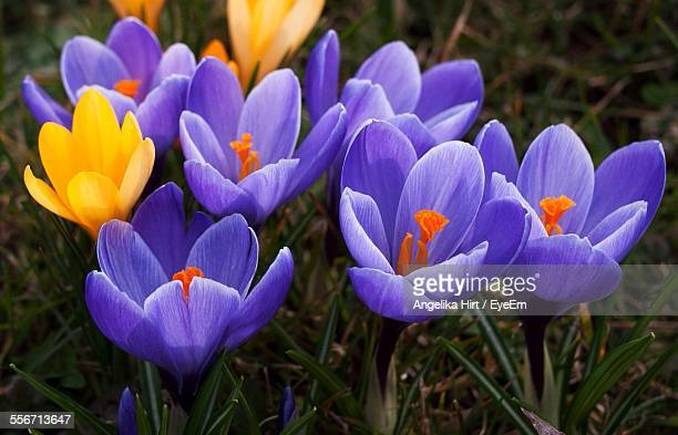 Close-Up Of Crocus Flowers Blooming On Field
