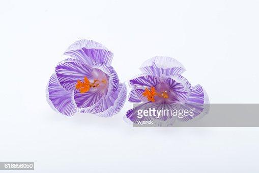 Close-up of  crocus flowers : Stock Photo
