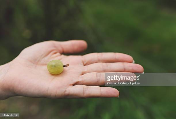 Close-Up Of Cropped Hand Holding A Ripe Gooseberry