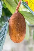 Typical amazon fruit