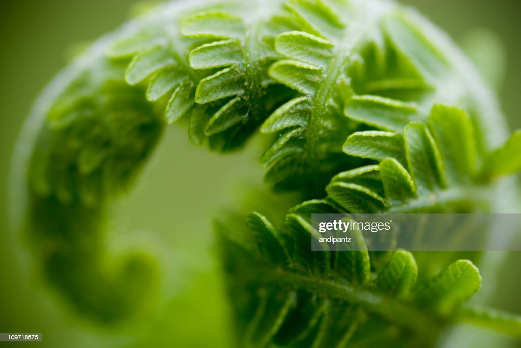 Close-Up of Curled Fern Leaf : Stock Photo