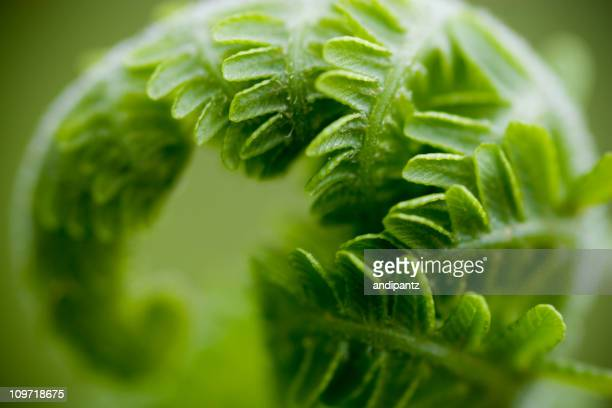 Close-Up of Curled Fern Leaf