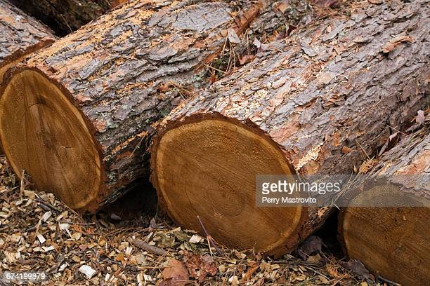 Red pine stock photos and pictures getty images for Pine tree timber