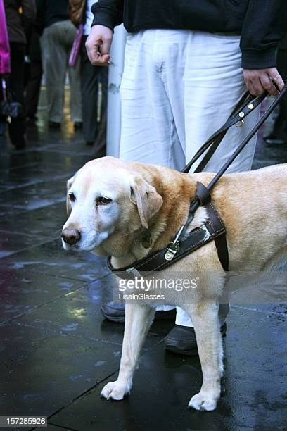 Close-up of cute Labrador guide dog on job