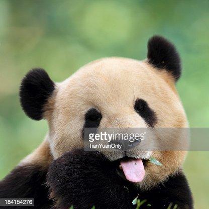 Close-up of cute panda pulling a face