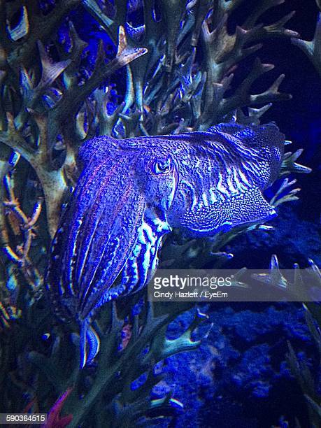 Close-Up Of Cuttlefish In Sea Life