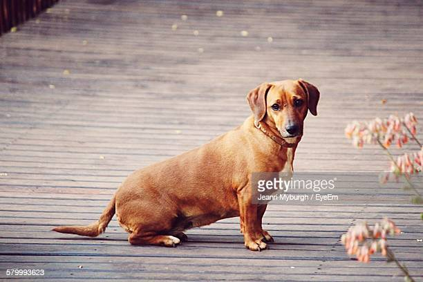 Close-Up Of Dachshund Sitting On Floor