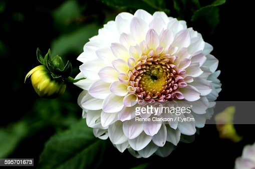 Close-Up Of Dahlia Blooming In Park