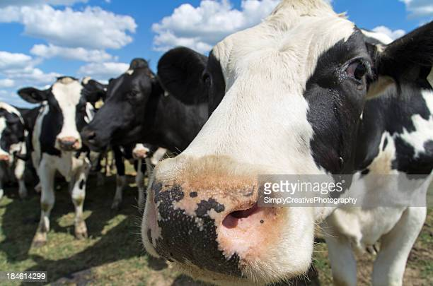 Closeup of dairy cow's face in pasture