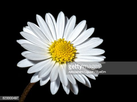 Close-Up Of Daisy Against Black Background