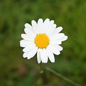 Close-Up Of Daisy Blooming On Field