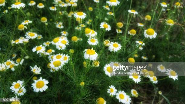 Close-Up Of Daisy Flowers In Field