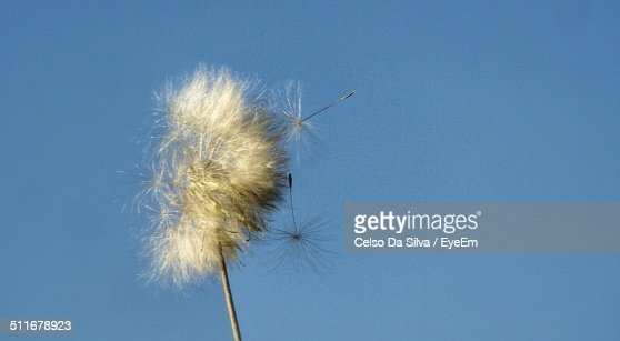 Close-up of dandelion against clear blue sky