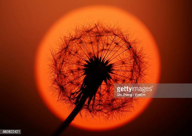 Close-Up Of Dandelion Against Orange Sun At Sunset