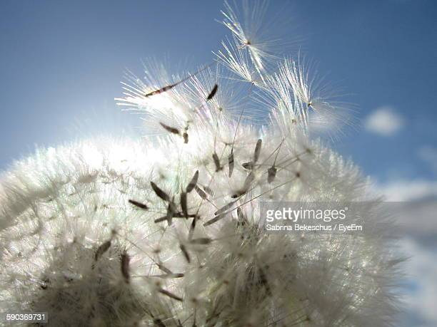 Close-Up Of Dandelion Against Sky