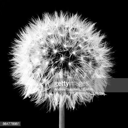 Close-Up Of Dandelion Over Black Background