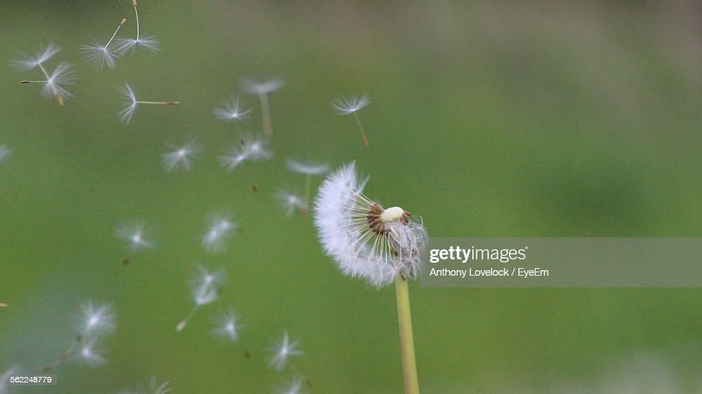 Close-Up Of Dandelion Seed Flying Away From Plant