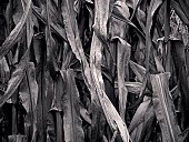 Close-up of dead and drying corn leaves.