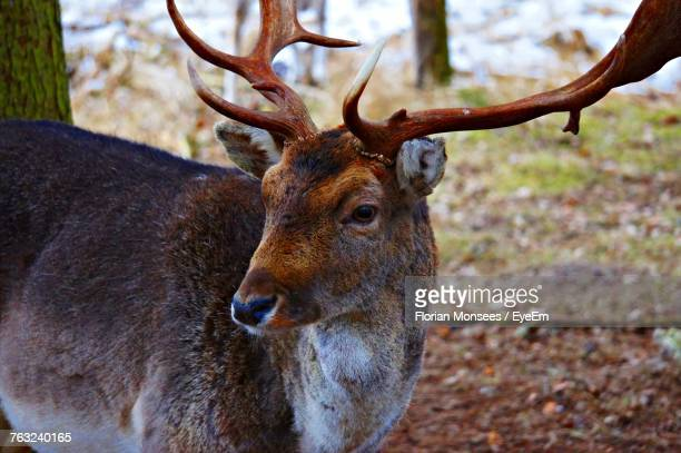 Close-Up Of Deer At Forest