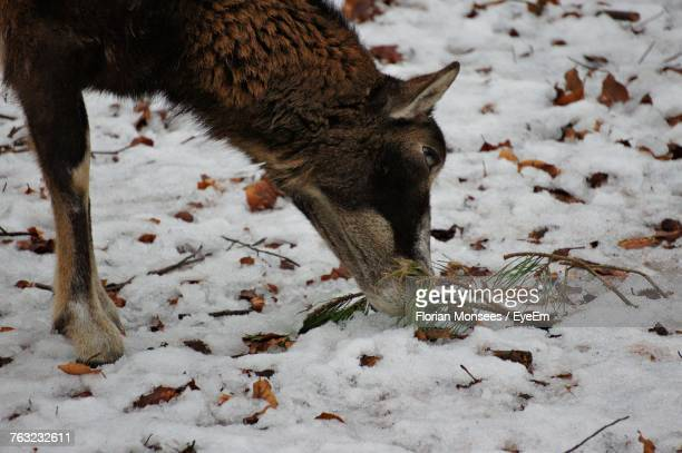 Close-Up Of Deer Eating Plant On Snow Field