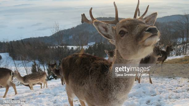 Close-Up Of Deer Standing On Snow Field