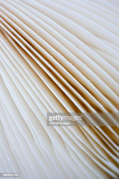 Close-up of destroying angel discs