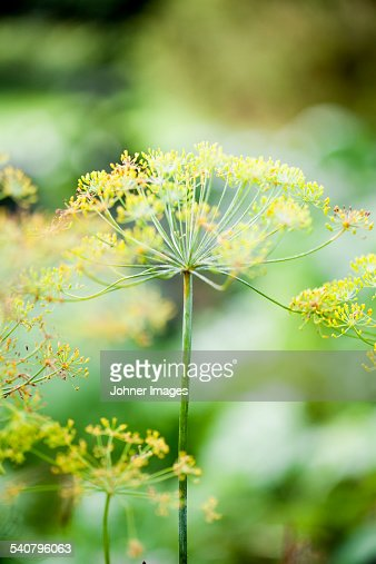 Close-up of dill flower