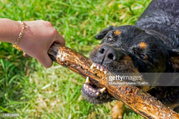 Close-Up Of Dog Biting Stick