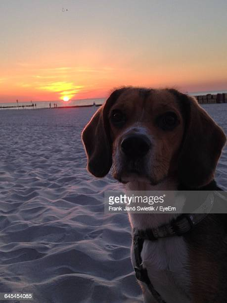 Close-Up Of Dog On Beach During Sunset