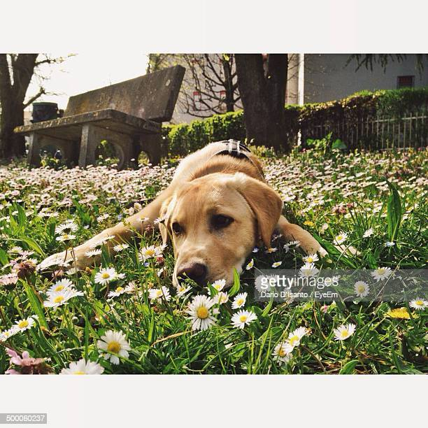 Close-up of dog resting in meadow