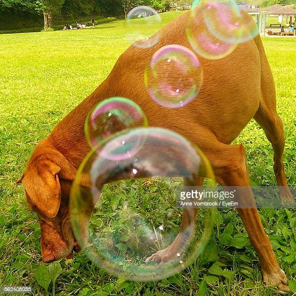 Close-Up Of Dog With Bubbles Smelling In Park