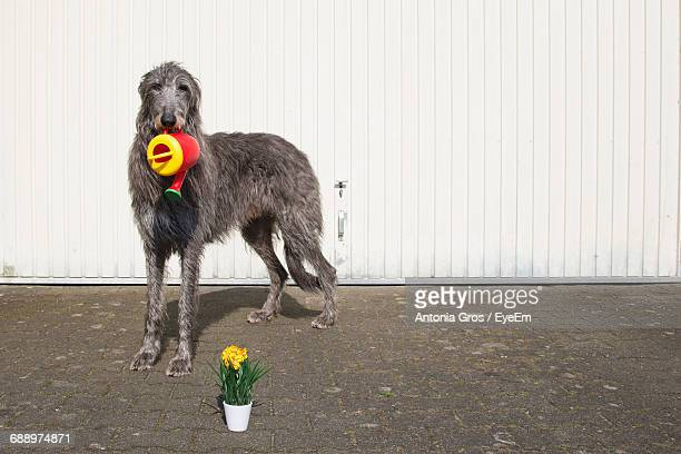 Close-Up Of Dog With Pail In Front Of White Fence