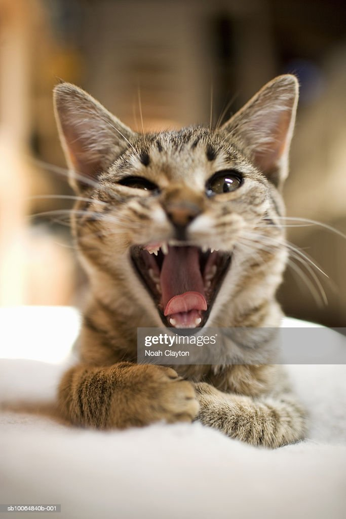 Close-up of domestic cat yawning and winking : Stock Photo