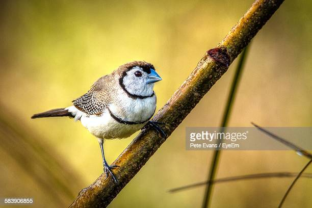 Close-Up Of Double-Barred Finch On Branch