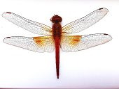 Close-Up Of Dragonfly Against White Background