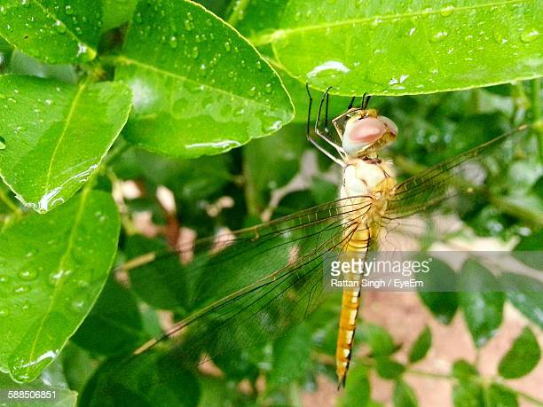 Close-Up Of Dragonfly On Wet Plant