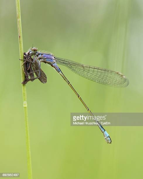 Close-Up Of Dragonfly With Prey On Plant