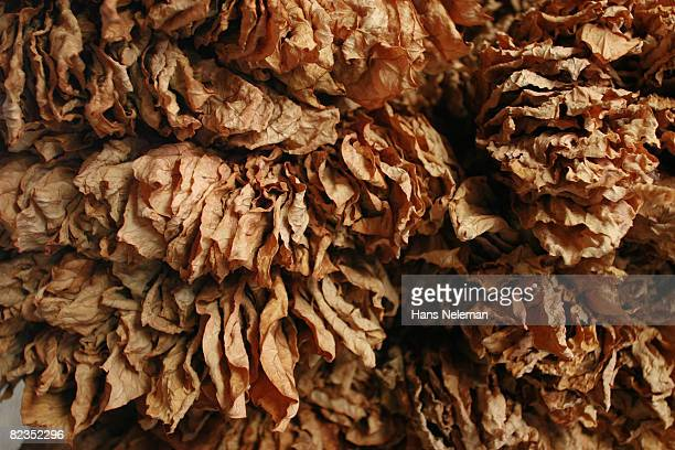 Close-up of dried tobacco leaves, Lebanon