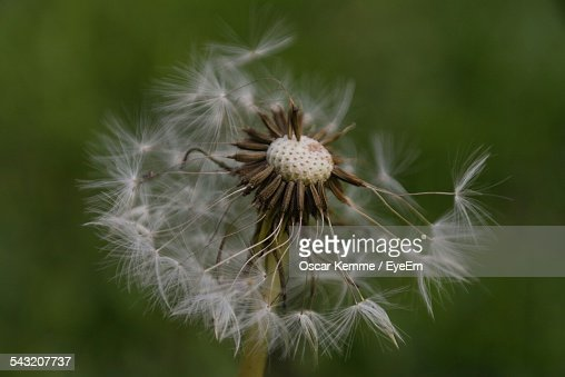 Close-Up Of Dry Dandelion Outdoors