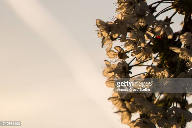 Close-Up Of Dry Flower Tree Against Sky