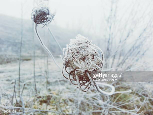 Close-Up Of Dry Plant In Winter