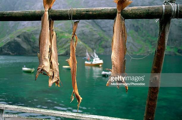 Close-up of drying fish, Nusfjord, Lofoten, Norway