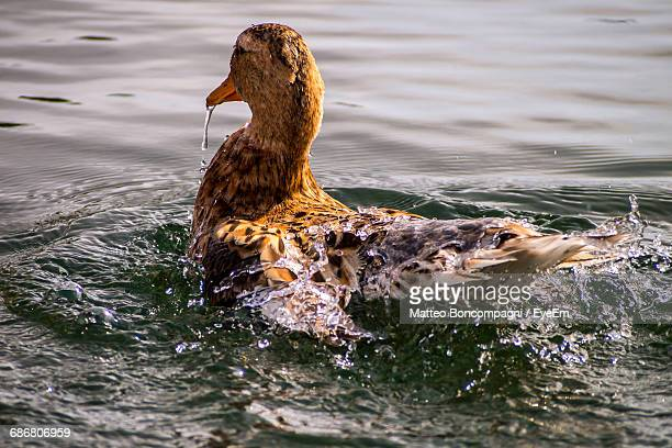 Close-Up Of Duck Swimming In Lake