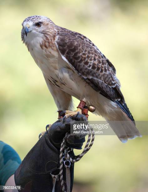 Close-Up Of Eagle Perching On Hand