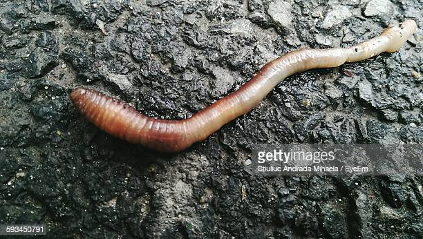 Close-Up Of Earthworm On Rock