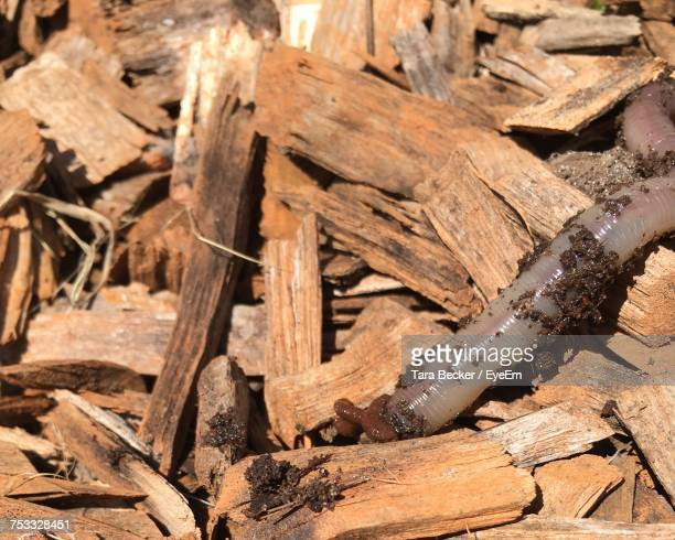 Close-Up Of Earthworm On Wood Chips