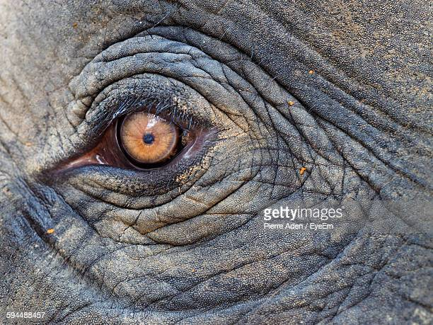 Close-Up Of Elephant Eye