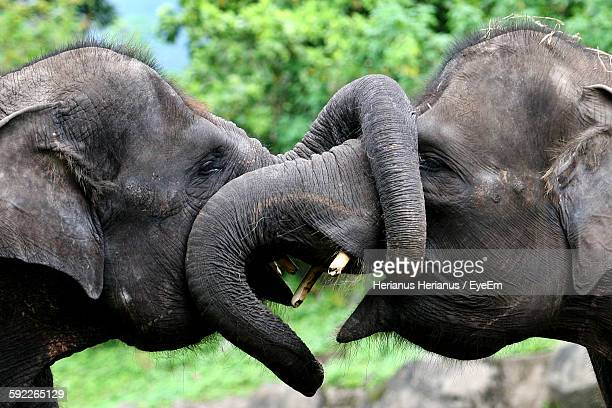 Close-Up Of Elephants Fighting In Forest