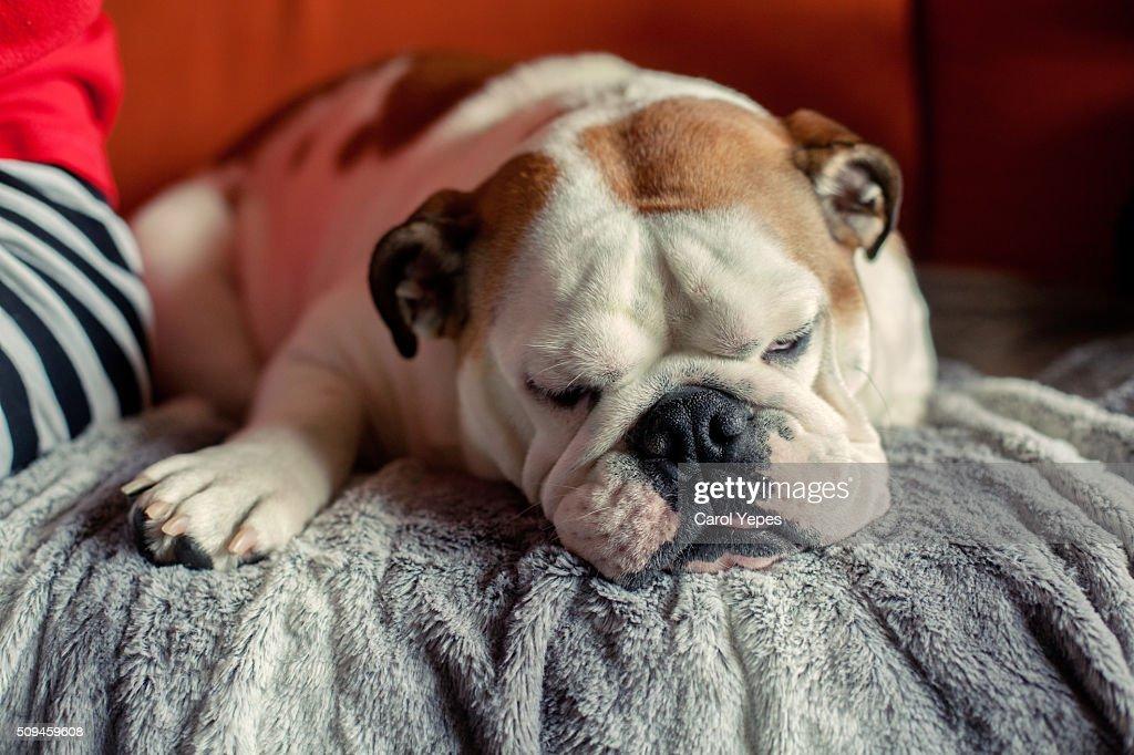 Close-Up Of  english bulldog Puppy Lying Down On Gravel